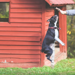 boston terrier jumping in mid air for treat
